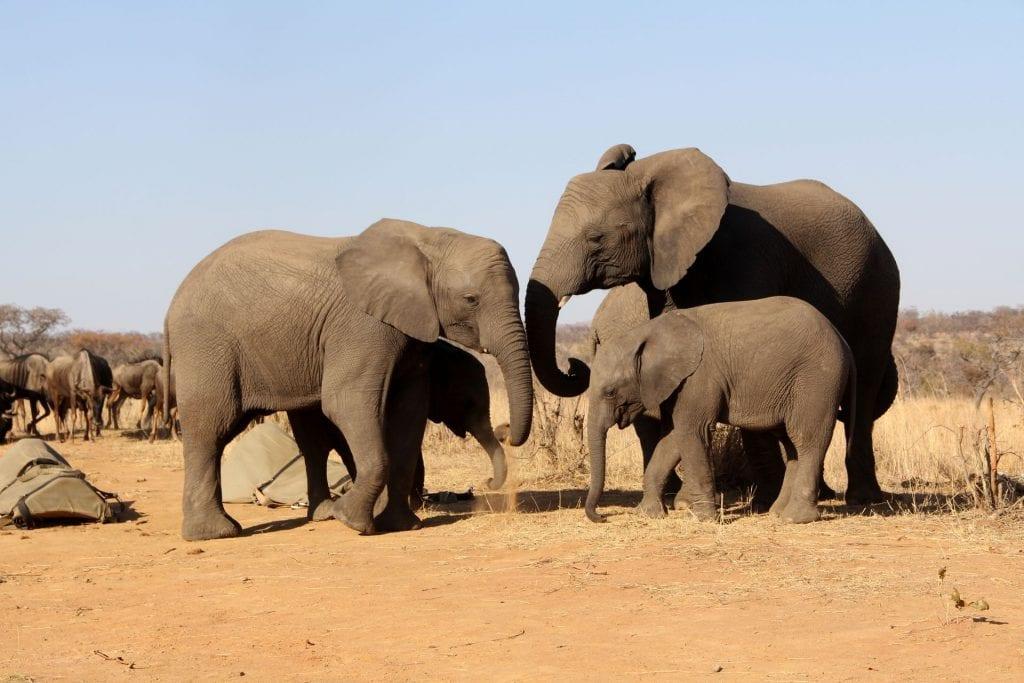 Safari Südafrika Elefant
