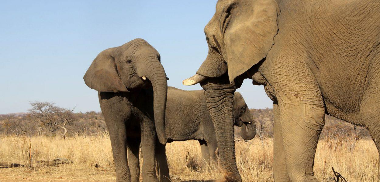 Safari Südafrika Elefant 2