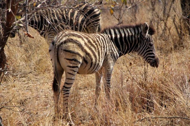 Safari Südafrika Zebra