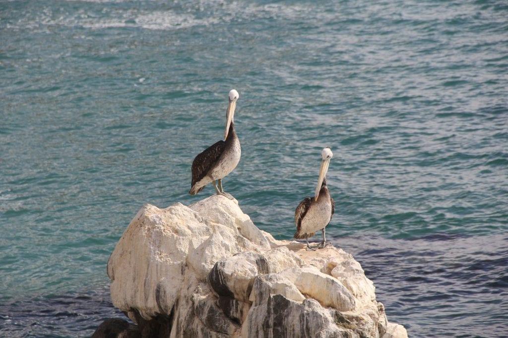 Vina del mar Pelicans
