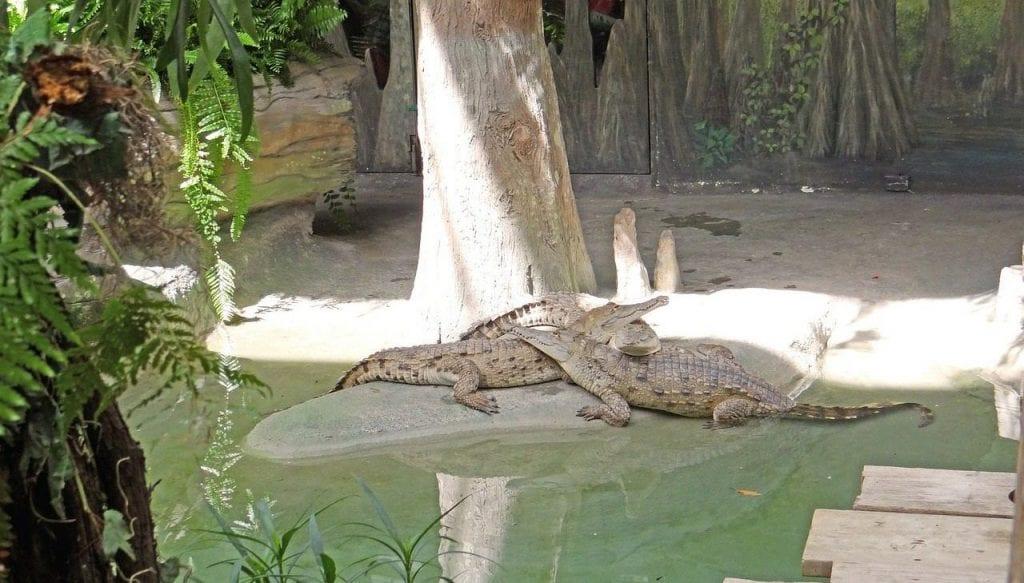 everglades nationalpark alligatoren