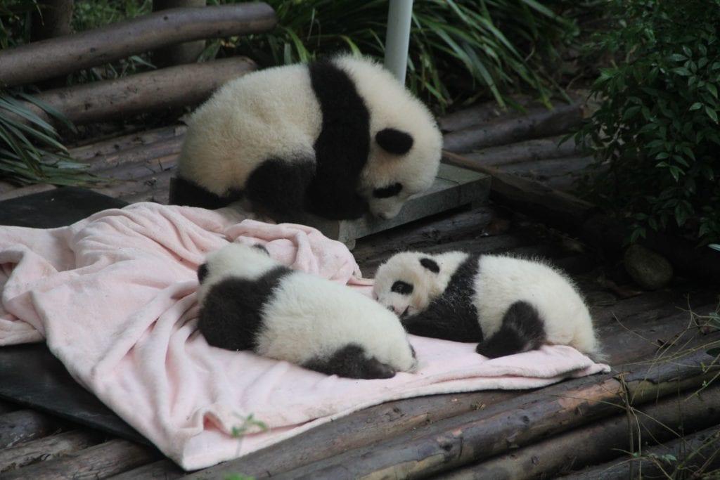 Chengdu Baby Panda