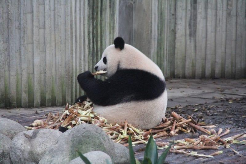 Chengdu Panda 2