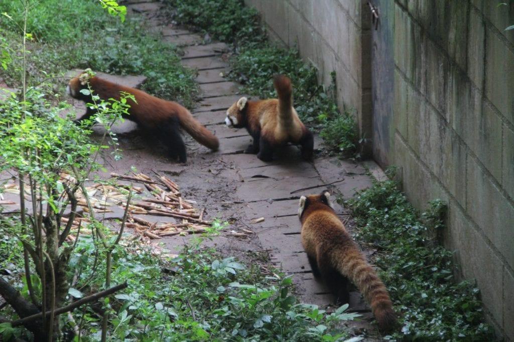 Chengdu Roter Panda