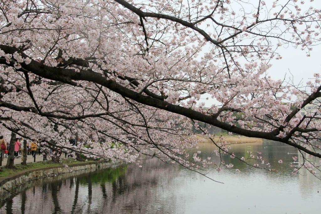 Tokio Kirschblüte