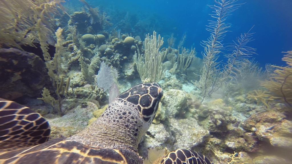 Schildkröte Tauchen Belize