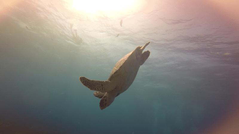 Schildlkröte Tauchen Belize