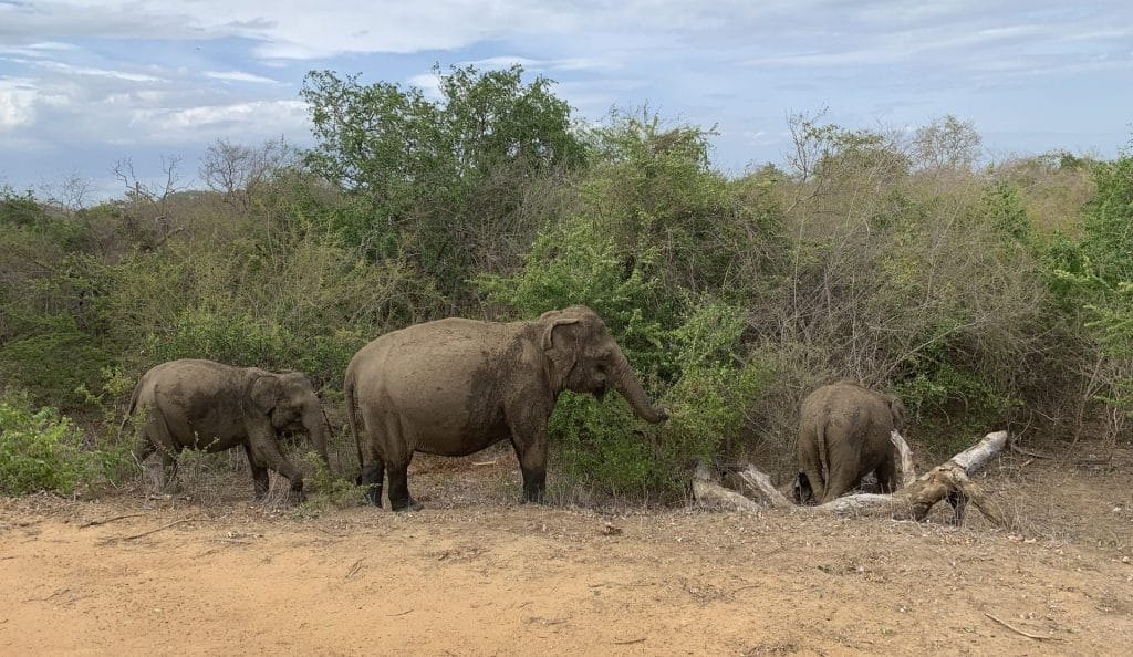 Elefanten Yala Nationalpark Sri Lanka 2