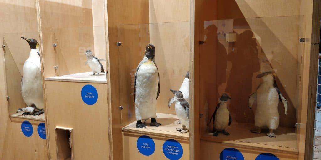 Philipp Island Penguin Parade 2