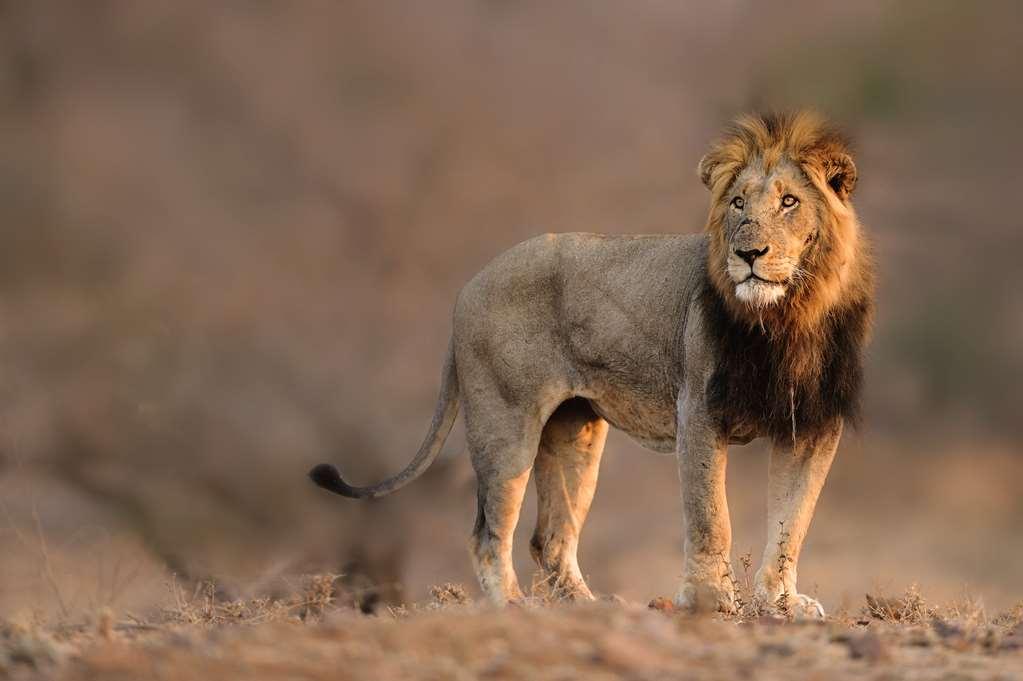 Singita Lemombo Kruger Nationalpark Südafrika Löwe