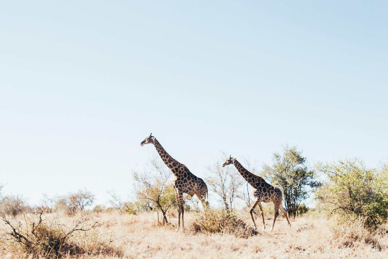 Südafrika Safari Natur Giraffen