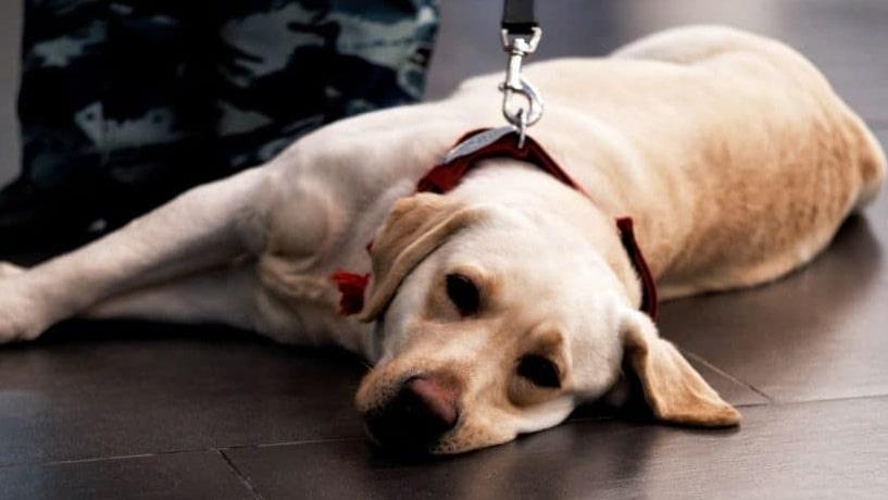 Servicedog 1 1024x575 Cropped
